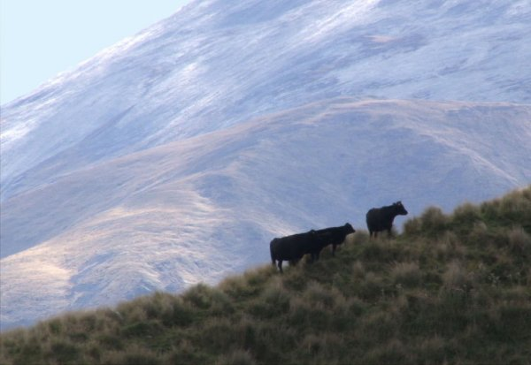 cows hill tussock